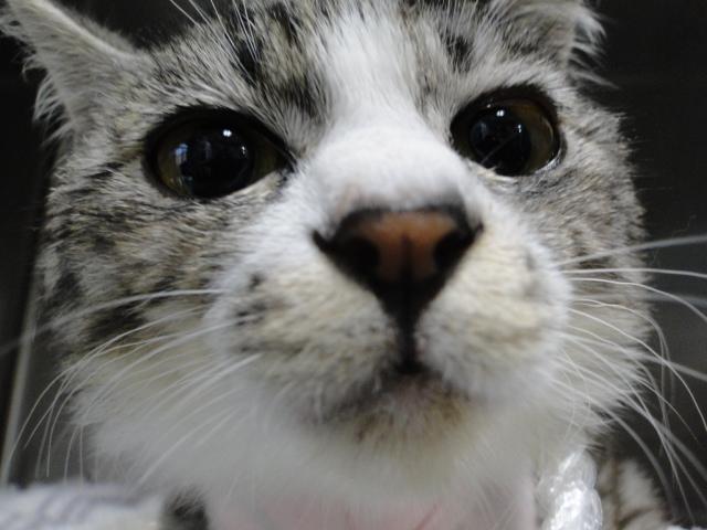 【獣医師監修】猫の伝染性腹膜炎の余命や延命治療 …
